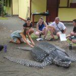 www.volunteereco.org-Sea turtle volunteer, leatherback turtle learning