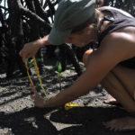 volunteereco.org volunteer for sea turtle conservation, working in mangrove