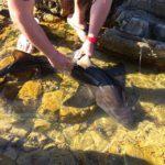 Volunteereco.org shark conservation volunteer; releasing the shark