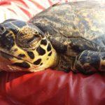 volunteereco.org volunteer, for sea turtle conservation