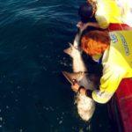 Volunteereco.org shark conservation volunteer; field shark measuring