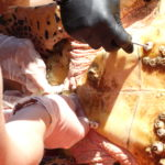 volunteereco.org volunteer for sea turtle conservation, removing the parasites from carapace