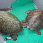 volunteereco.org volunteer for sea turtle conservation, green and black sea turtles