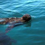 Volunteereco.org shark conservation volunteer, a cute seal.