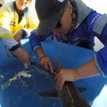 Volunteereco.org shark conservation volunteer