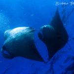 www.volunteereco.org Volunteer for Marine Conservation Indonesia_beautiful mantas