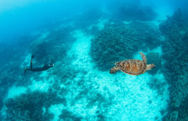 www.volunteereco.org Volunteer-for-a-Great-Barrier-Reef_Snorkeling_filming a turtle