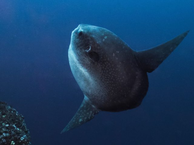 www.volunteereco.org Volunteer - dive for sharks, rays, turtles Sulawesi SUN FISH