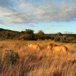 www.volunteereco.org volunteer-for-big-five-conservation Sunset with amazing lions