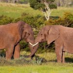www.volunteereco.org volunteer-for-big-five-conservation Elephant bacehlors' behaviour