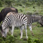 www.volunteereco.org volunteer-for-big-five-conservation_Zebras