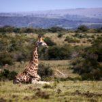 www.volunteereco.org volunteer-for-big-five-conservation an elegant Giraffe