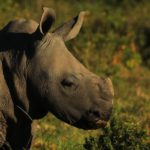 www.volunteereco.org volunteer-for-big-five-conservation South African Rhino Baby