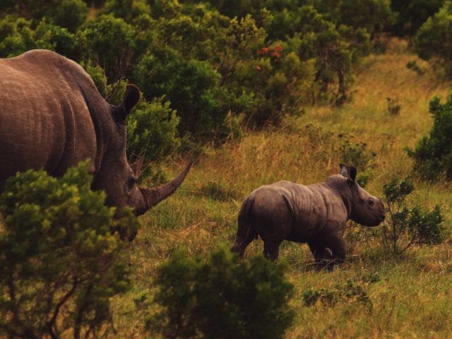 www.volunteereco.org volunteer-for-big-five-conservation South Africa mighty Rhinos