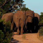 www.volunteereco.org volunteer-for-big-five-conservation mighty Elephants